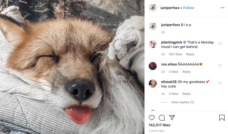 Follow Juniper the Fox on Instagram